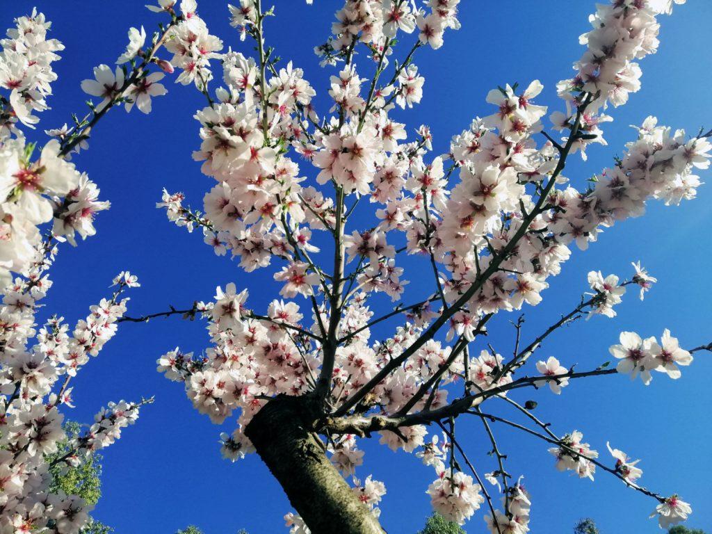 Almendro en flor, ruta de las flores en autocaravana