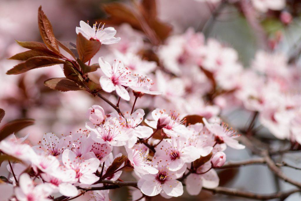 Cereza en flor rutas